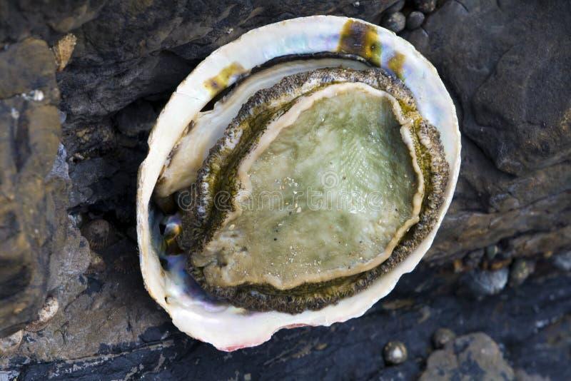 abalone royaltyfri bild