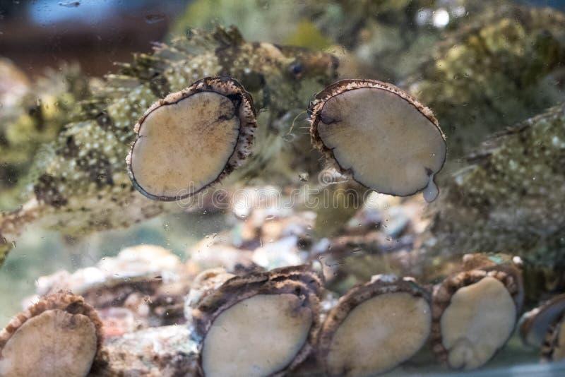 abalone imagens de stock
