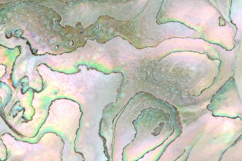 abalonecloseupskal arkivbild