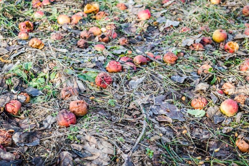 Abandonó las frutas putrefactas de la manzana en una hierba marchitada imágenes de archivo libres de regalías
