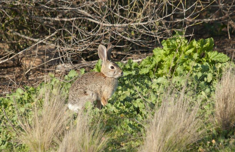 Abandone o audubonii do Sylvilagus do coelho de coelho no prado imagem de stock royalty free