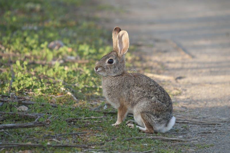 Abandone o audubonii do Sylvilagus do coelho de coelho no prado imagem de stock