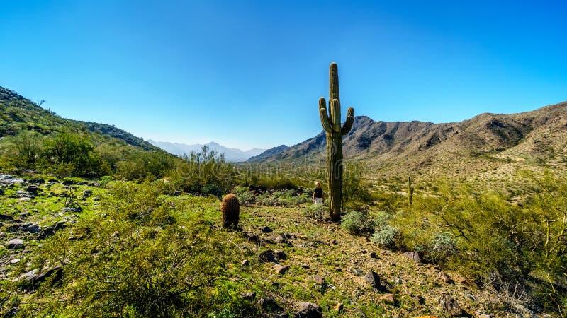 Abandone a paisagem com Saguaro e os cactos de tambor altos ao longo da fuga de caminhada de Bajada nas montanhas do parque sul d foto de stock royalty free