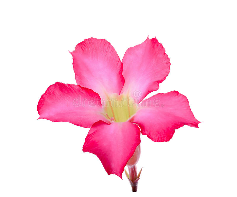 Abandone ROS, lirio de impala, flor falsa de la azalea aislada en blanco imágenes de archivo libres de regalías