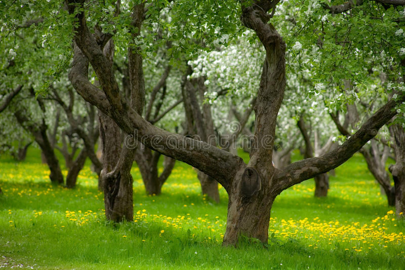 An abandoned apple orchard stock image