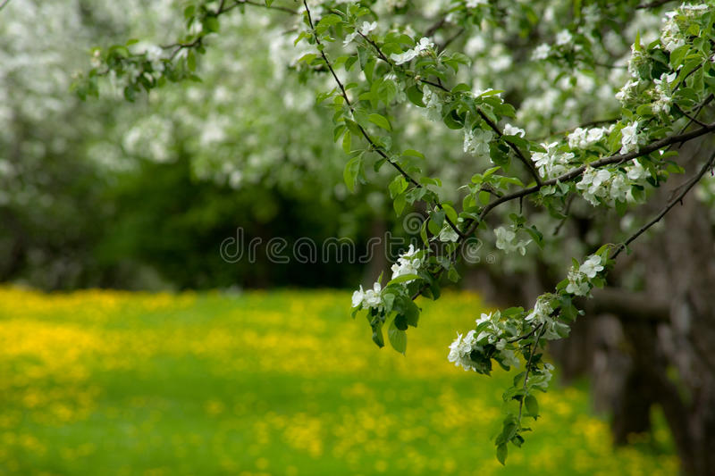 An abandoned apple orchard royalty free stock image