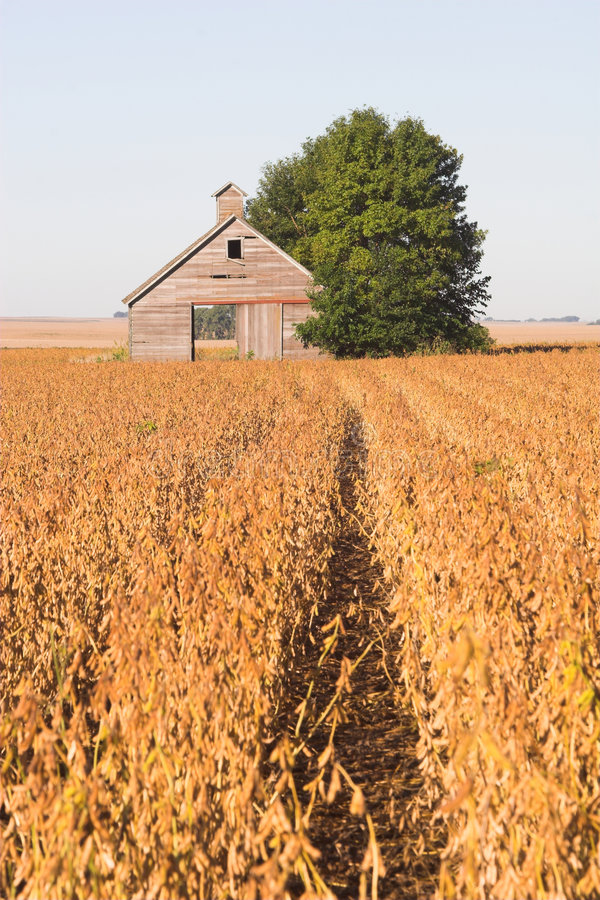 Free Abandoned Barn And Soybean Field Stock Images - 1311094