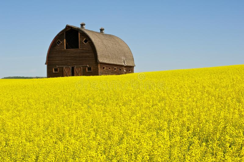 Abandoned barn in canola field stock images