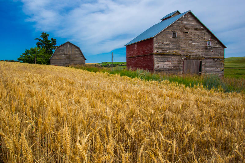 Abandoned Barns. Two Old Abandoned Barns Amidst Wheat Field in Palouse Region of Washngton State stock image