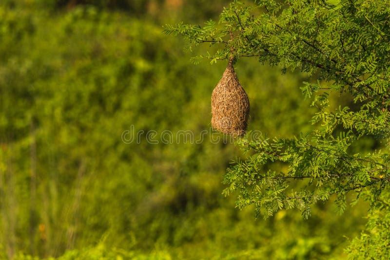 Abandoned Baya weaver nest. Isolated background stock photo