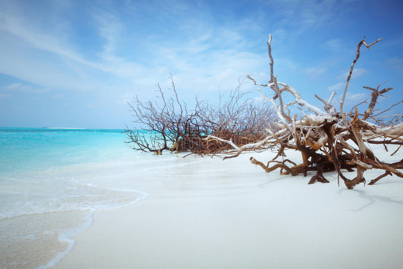 Abandoned Beach at Maldives island Fulhadhoo with white sandy beach and sea. Wild Beach at Maldives island Fulhadhoo with white sandy beach and sea, snags gro royalty free stock photo