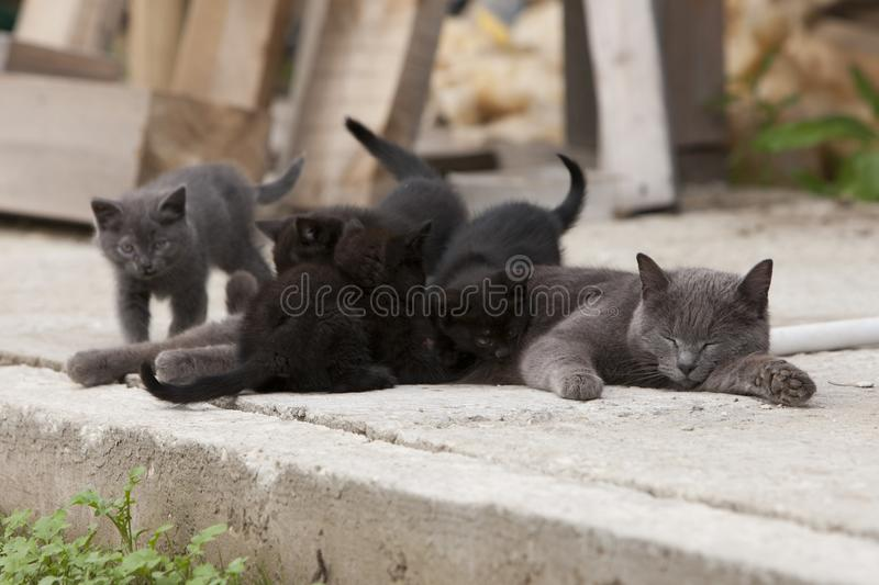 A street cat feeds her cubs with milk in the street. An abandoned cat feeds a variety of kittens on the street royalty free stock photo