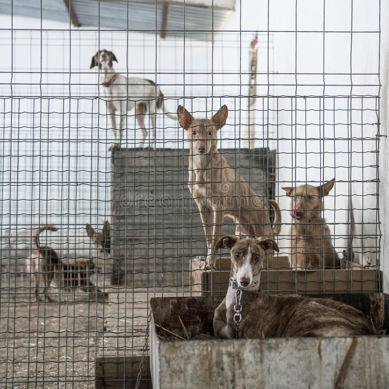 Download Abandoned dogs stock photo. Image of galgo, podenco, hopeless - 39258354