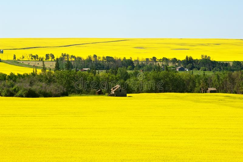 Abandoned farm and active farm in canola royalty free stock photo