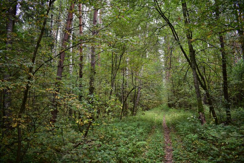An abandoned logging road adorns the forest, an ecologically clean place. Of flora stock photos