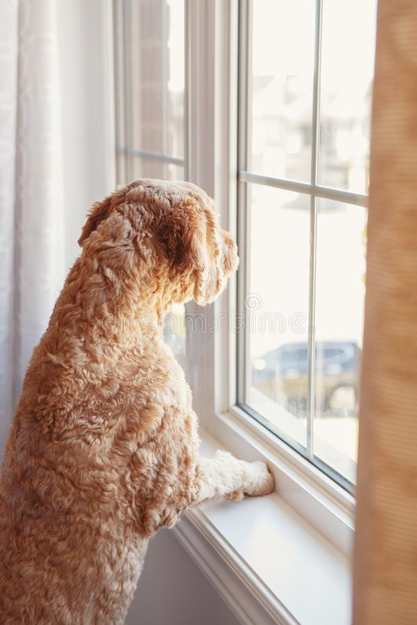 Abandoned lonely red haired dog looking out of the window royalty free stock photos