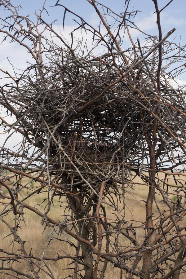 An abandoned nest in the bushes of a thorn Bush. Abandoned nest in the bushes of a thorn Bush with thorns in the desert in the whole frame stock image