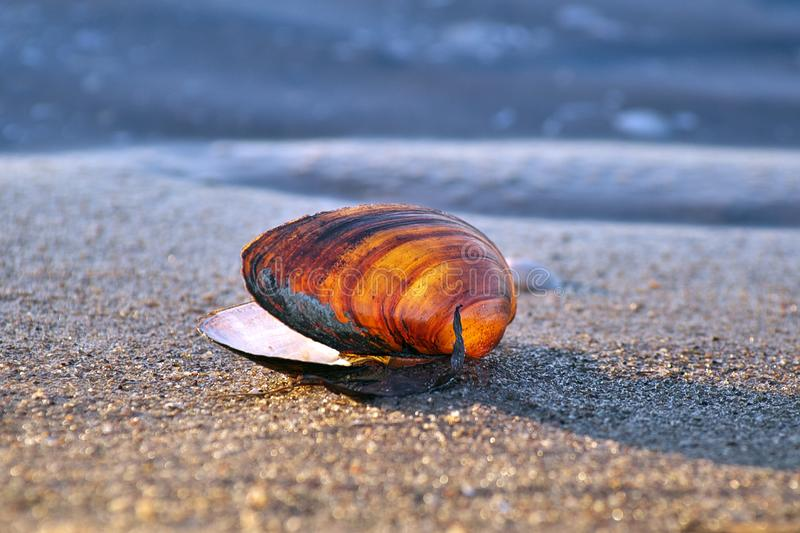Abandoned softshell. Horizontal close-up image in bright colors of abandoned Mya arenaria sand gaper, softshell clam, steamer, softshell, longneck, clam, Ipswich stock photos