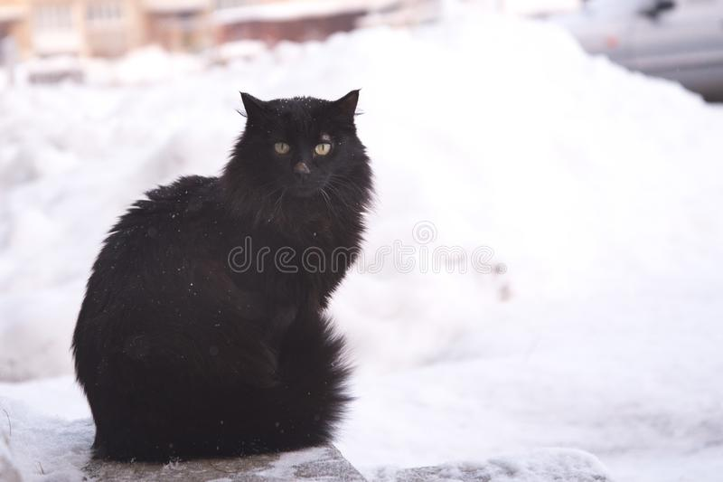 Abandoned street cats, animal abuse, sadness. Black fluffy cat on a background of snow. Homeless black cat stock photos