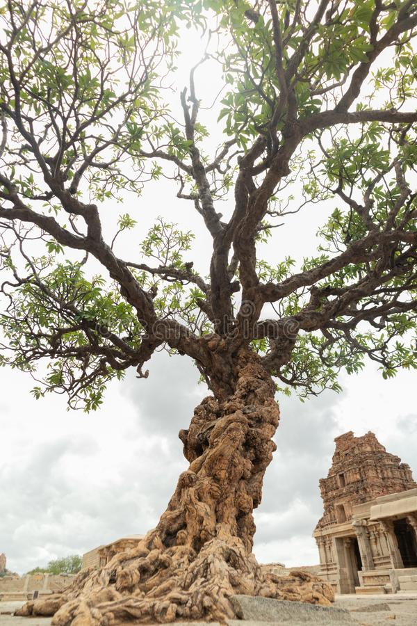 Abandoned tree at Vittala Temple in Hampi, Karnataka, India royalty free stock photo