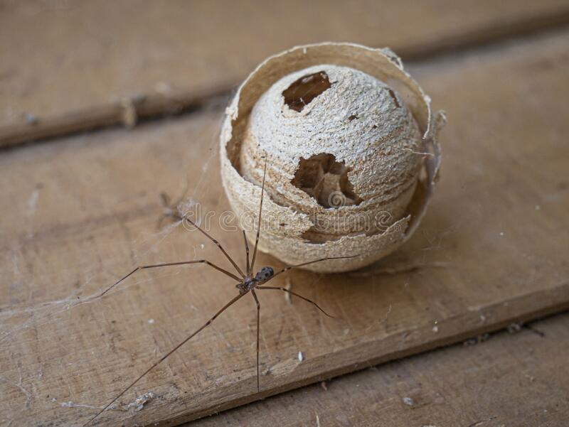Abandoned wild swarm beehive and a spider. stock images