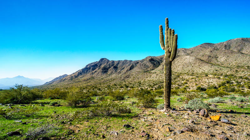 Abandonnez le paysage avec le cactus grand de Saguaro le long du sentier de randonnée de Bajada dans les montagnes du parc du sud photo libre de droits