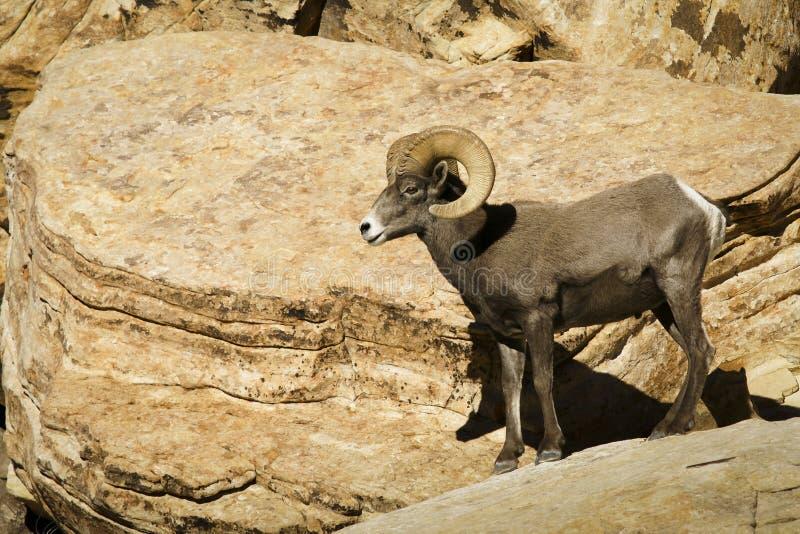 Abandonnez les mouflons d'Amérique dans la roche rouge NCA Nevada image libre de droits