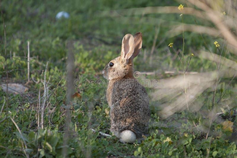 Abbandoni il audubonii dello Sylvilagus del coniglio di silvilago nel prato immagine stock