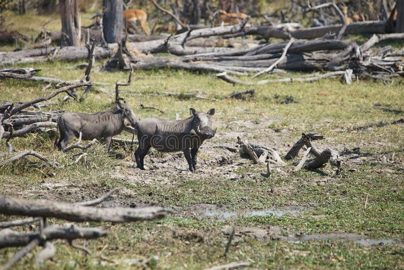Abbandoni il facocero, il aethiopicus del Phacochoerus, il parco nazionale Moremi, Botswana fotografie stock libere da diritti