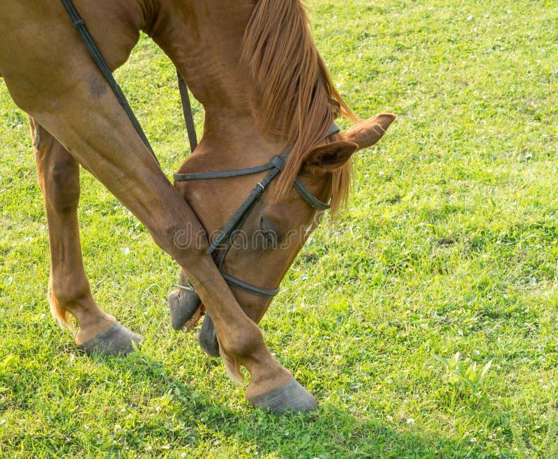 Abbassarsi del cavallo immagini stock