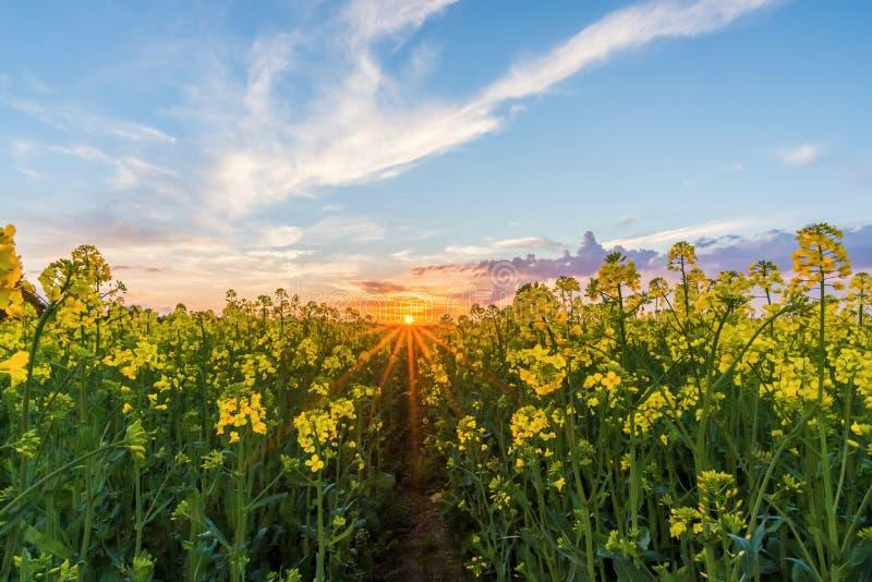 Abbassi la vista sopra il giacimento del seme di ravizzone con le fioriture gialle sul tramonto immagini stock