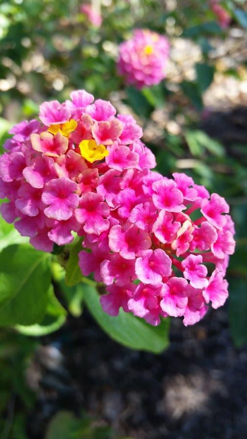 Abbastanza nel colore rosa fotografie stock libere da diritti