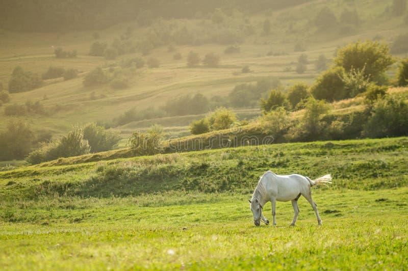 abbellisca con il bello cavallo bianco che pasce al tramonto fotografia stock