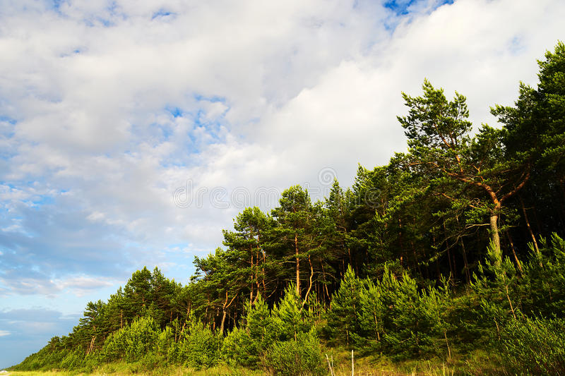 Abbellisca con la foresta dell 39 albero di pinus sylvestris - Immagine dell albero a colori ...