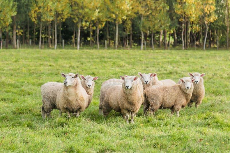 Abbellisca con la foresta e le pecore di pascolo, l'isola del sud, Nuova Zelanda fotografia stock libera da diritti