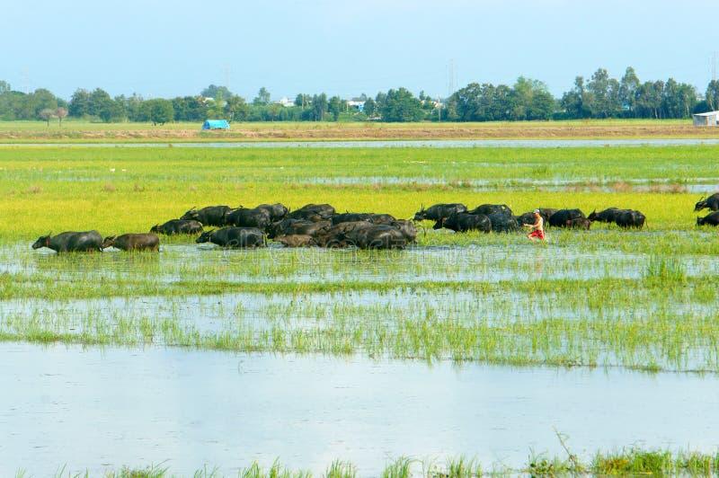 Abbellisca, delta del Mekong, il bufalo, giacimento sommerso del riso immagine stock