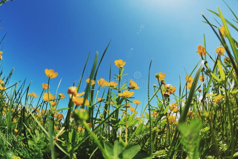 abbellisca il fondo con i fiori gialli freschi sul pascolo fotografie stock libere da diritti