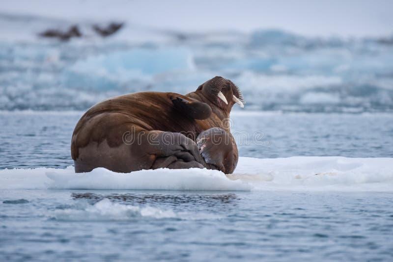 Abbellisca il tricheco della natura su una banchisa del giorno artico del sole dell'inverno di Spitsbergen Longyearbyen le Svalba immagine stock