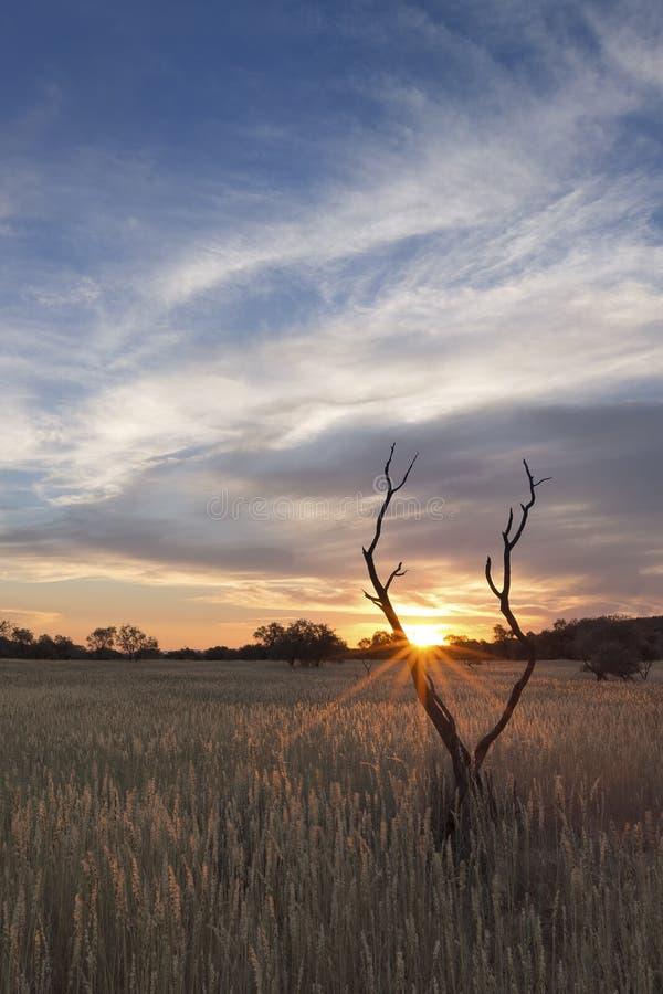 Abbellisca la foto di un albero morto della siluetta al tramonto con la SK blu fotografia stock