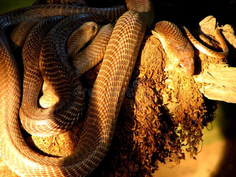 Abbondanza del serpente immagini stock