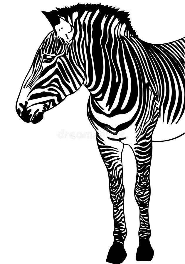Abbozzo della zebra immagine stock