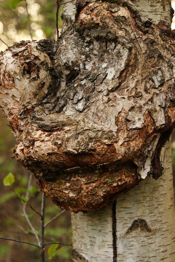 Abcès sur une tige d'un arbre de bouleau photos libres de droits