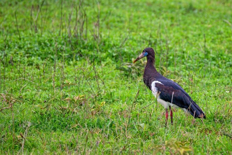 The Abdim`s stork or Ciconia abdimii royalty free stock photo