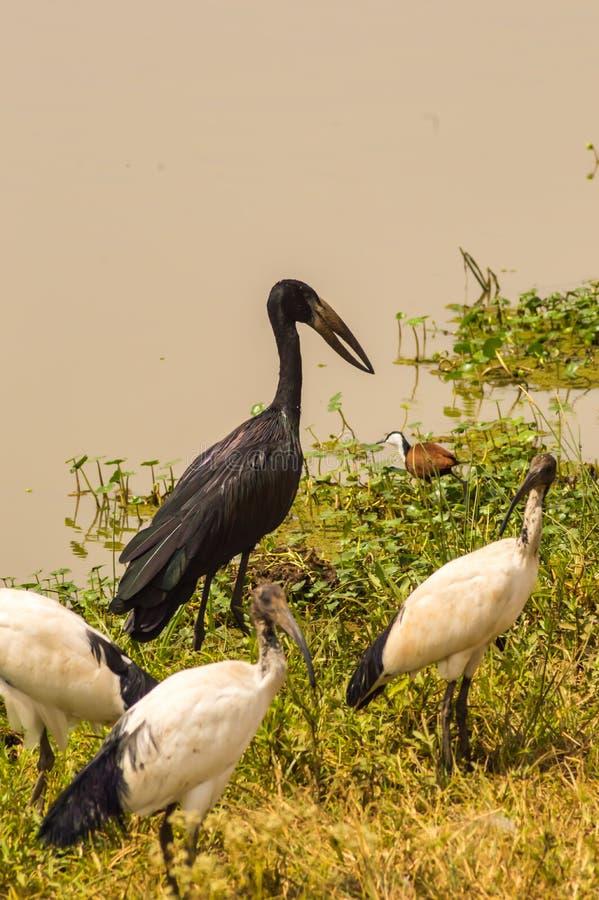 Abdim Stork and sacred ibis along royalty free stock photos