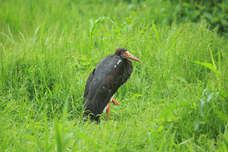 Abdim stork royalty free stock image