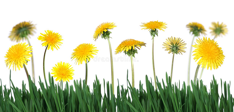 abdmaskrosor gräs green royaltyfri foto