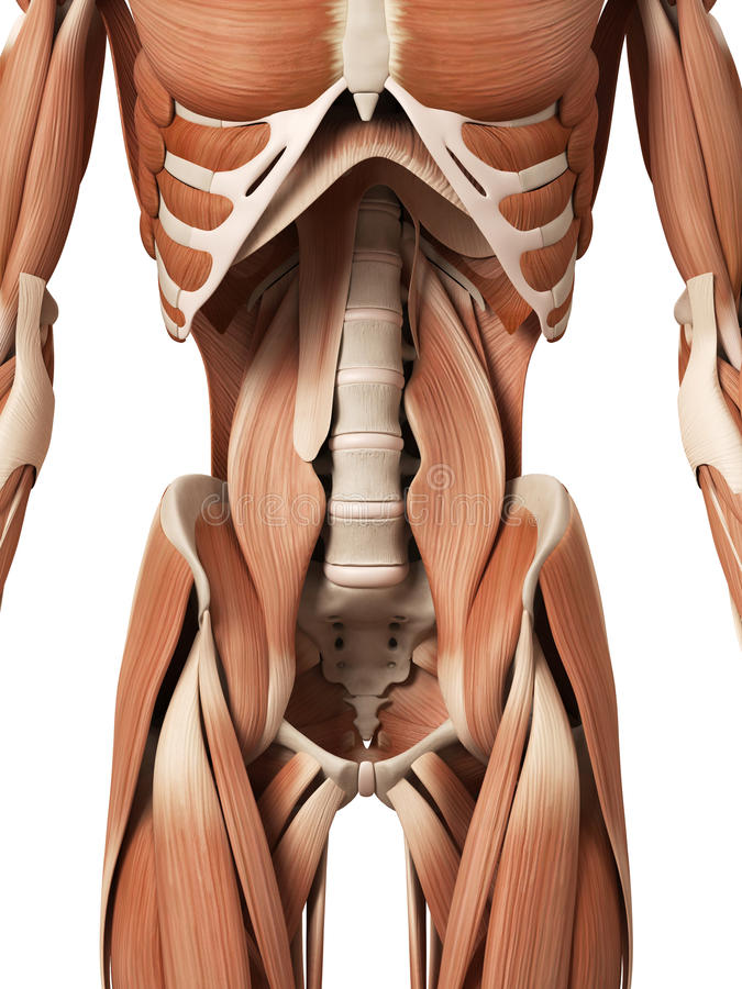 The abdominal muscles royalty free illustration