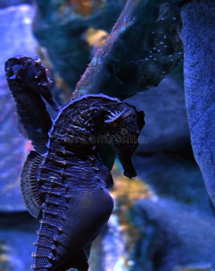 Abdominalis barrigones del hipocampo del seahorse foto de archivo