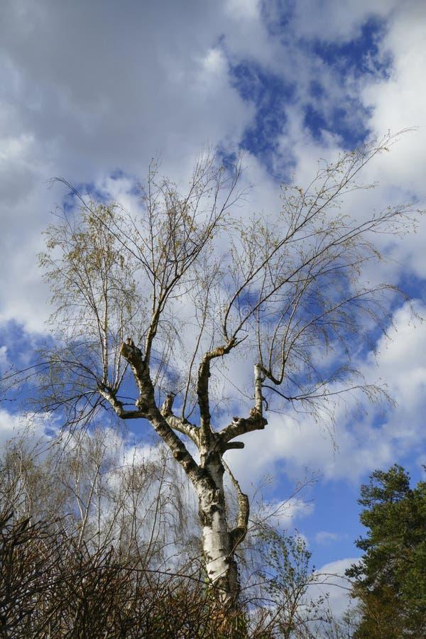 Abedul, árbol con las ramas del atajo y deseos imágenes de archivo libres de regalías