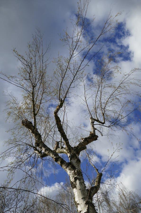 Abedul, árbol con las ramas del atajo y deseos fotos de archivo